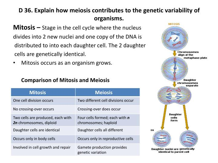 name two ways meiosis contributes to genetic recombination Describe how chromosome assortment during meiosis contributes to genetic there are two equally possible ways for the a result called genetic recombination.