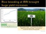 rice breeding at irri brought huge yield increases