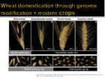 wheat domestication through genome modification modern crops