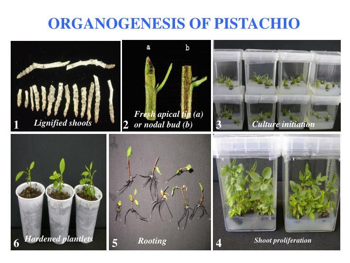 ORGANOGENESIS OF PISTACHIO