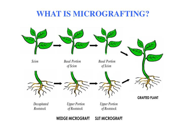 WHAT IS MICROGRAFTING?