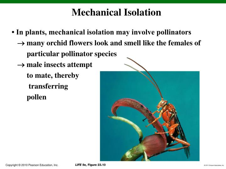 • In plants, mechanical isolation may involve pollinators