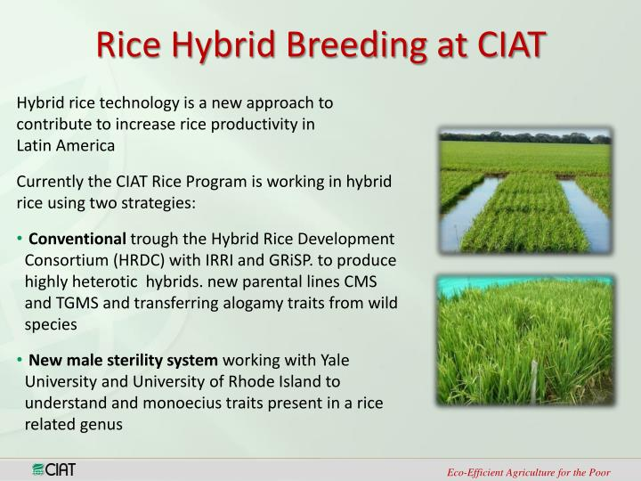 Rice Hybrid Breeding at CIAT