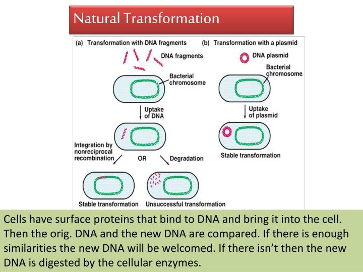 bacterial transformation lab report Biotechnology bacterial transformation lab: the effects of pglo dna on e coli method introduction bacteria transformation is the process of a bacterium absorbing and integrating naked dna located on the surface of their membrane.