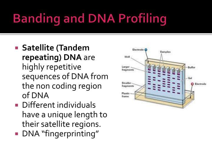 Banding and DNA Profiling