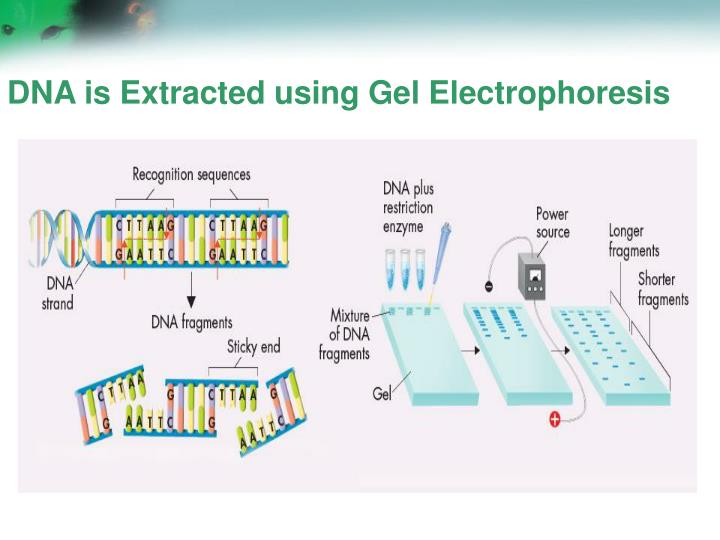 DNA is Extracted using Gel Electrophoresis