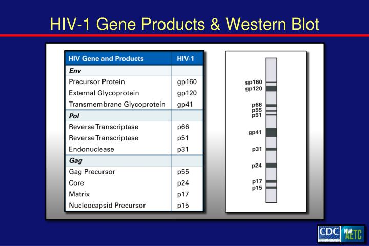 HIV-1 Gene Products & Western Blot