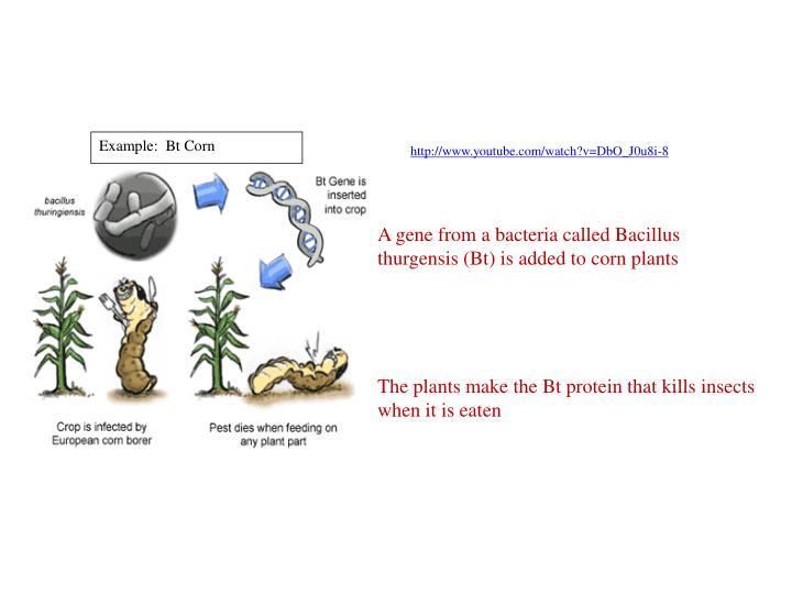 Example:  Bt Corn