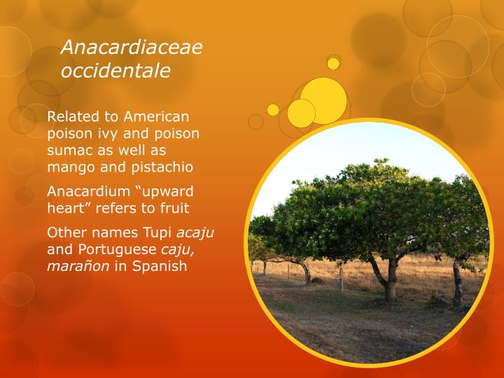Anacardiaceae occidentale