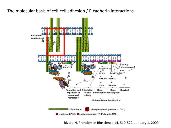 The molecular basis of cell-cell adhesion / E-