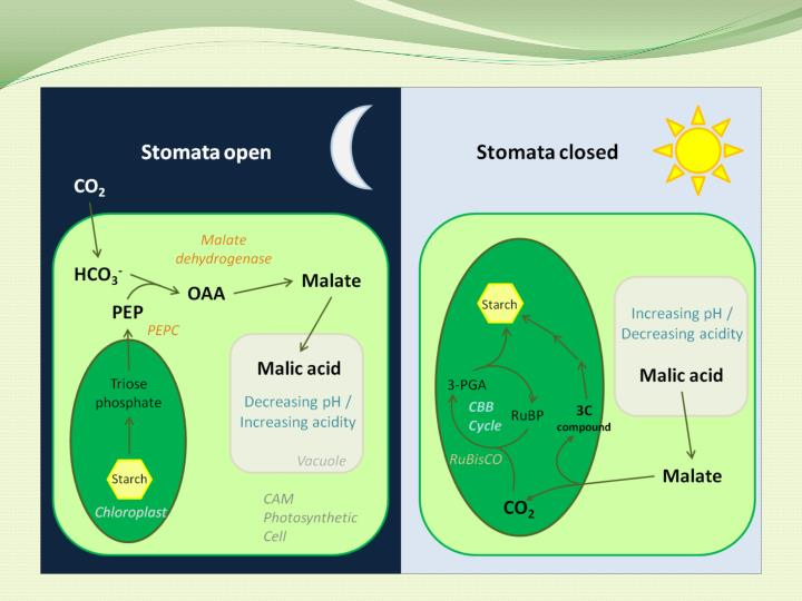 Crassulacean acid metabolism cam mechanism