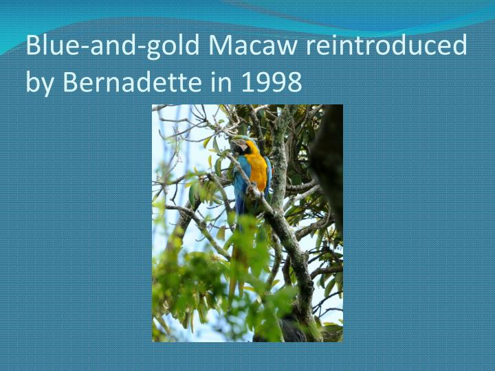 Blue-and-gold Macaw reintroduced by Bernadette in 1998