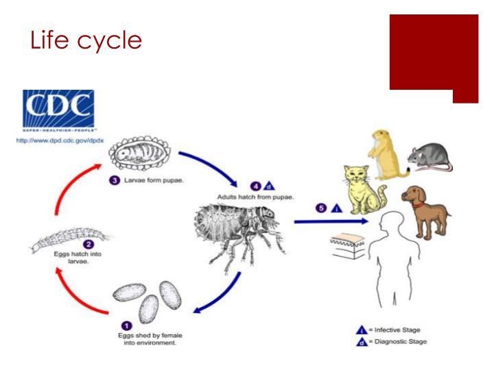 Xenopsylla Cheopis Life Cycle PPT - Xenopsyll...