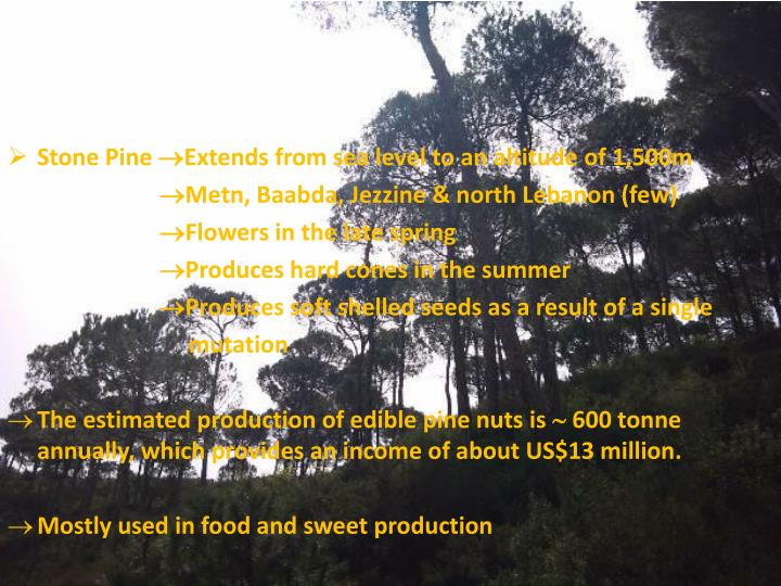 Stone Pine Extends from sea level to an altitude of 1,500m