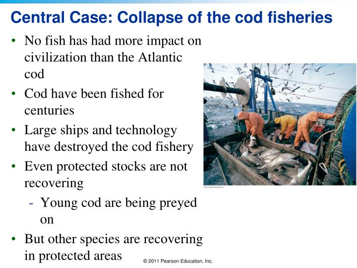Central case collapse of the cod fisheries