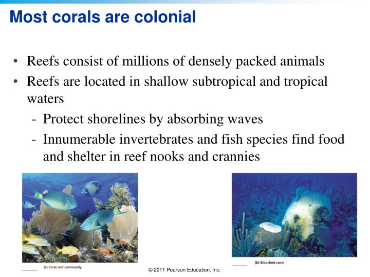 Most corals are colonial