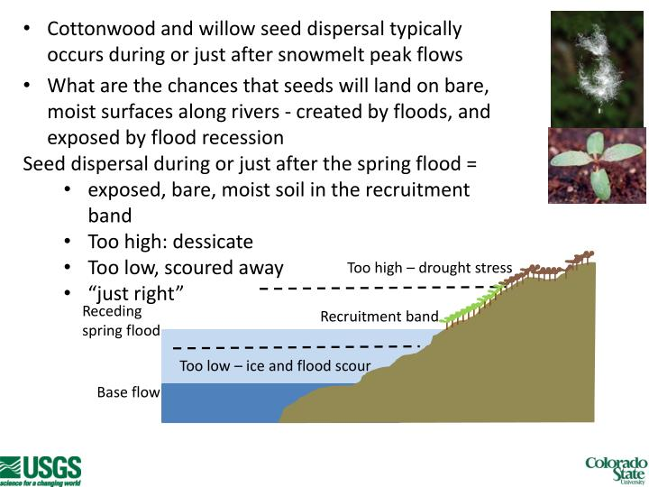 Cottonwood and willow seed dispersal typically occurs during or just after snowmelt peak flows