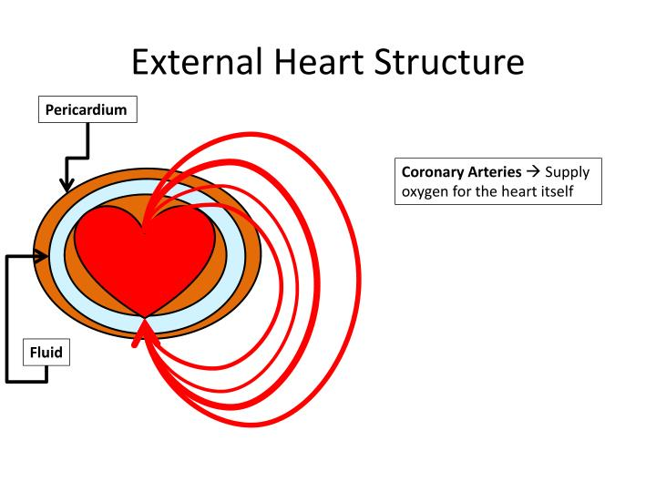 External Heart Structure