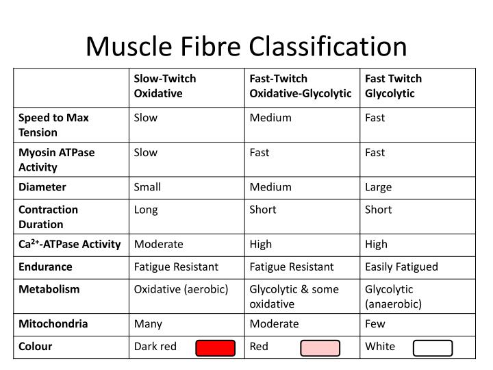 Muscle Fibre Classification