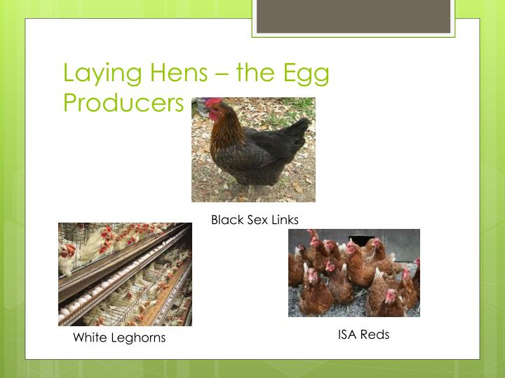 Laying Hens – the Egg Producers