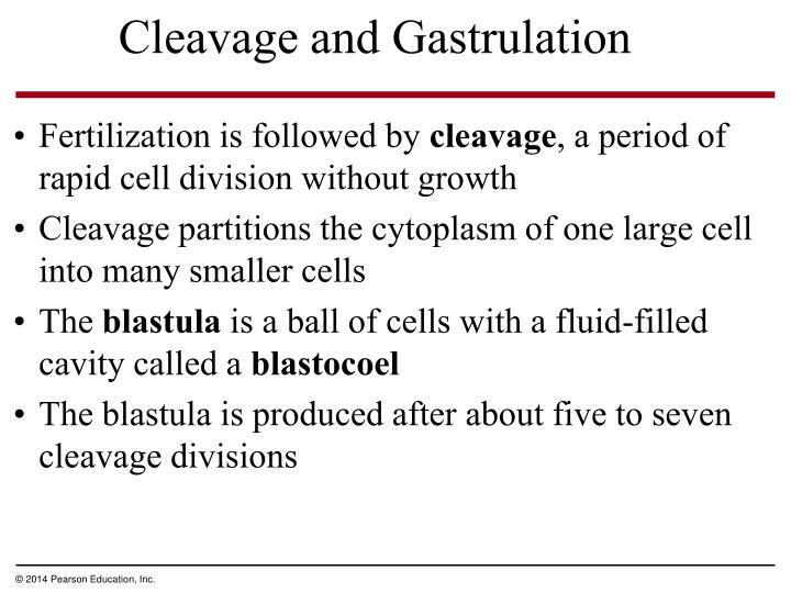Cleavage and Gastrulation