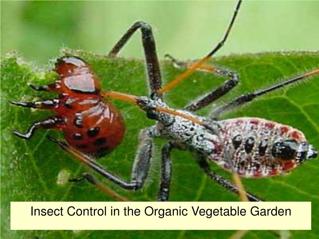 PPT - Insect Control in the Organic Vegetable Garden