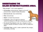 understanding the golden retriever steadiness animal