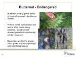 butternut endangered