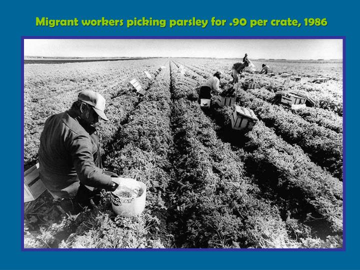 Migrant workers picking parsley for .90 per crate, 1986