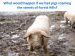 what would happen if we had pigs roaming the streets of forest hills