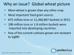 why an issue global wheat picture