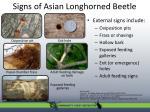 signs of asian longhorned beetle