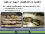 signs of asian longhorned beetle1