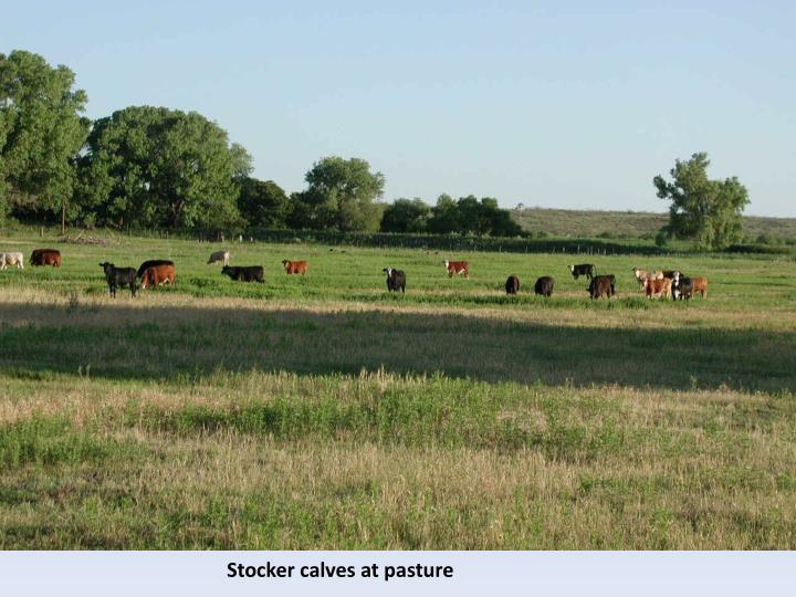 Stocker calves at pasture