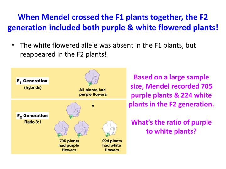 When Mendel crossed the F1 plants together, the F2 generation included both purple & white flowered plants!