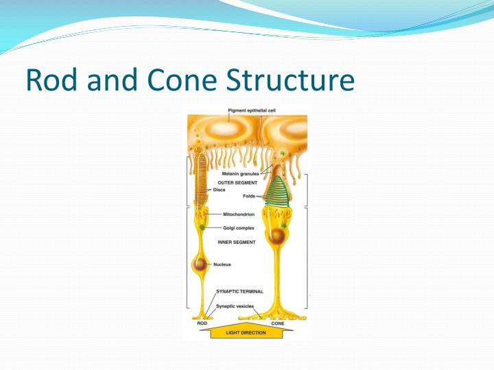 Rod and Cone Structure