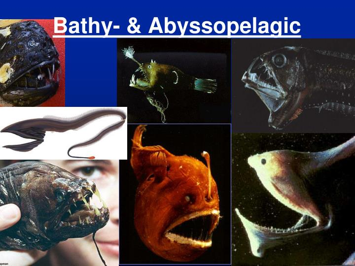 Bathy- & Abyssopelagic