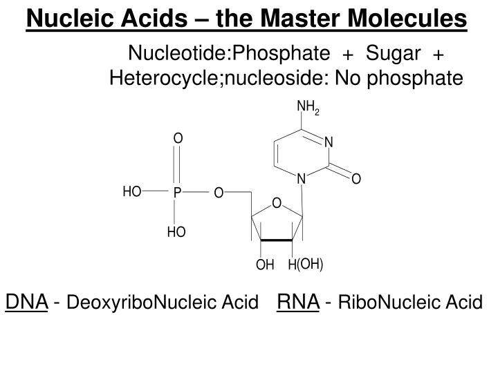 Nucleic Acids – the Master Molecules