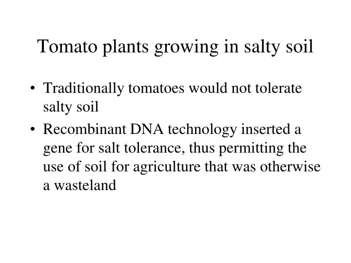 Tomato plants growing in salty soil