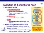 evolution of 4 chambered heart