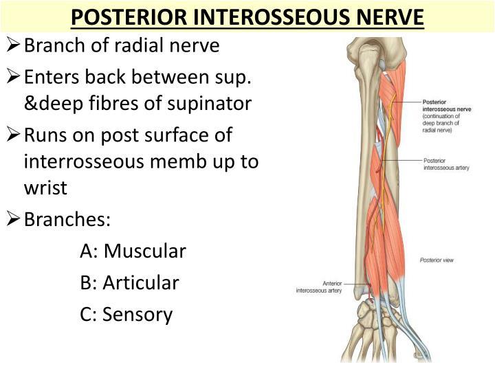 POSTERIOR INTEROSSEOUS NERVE