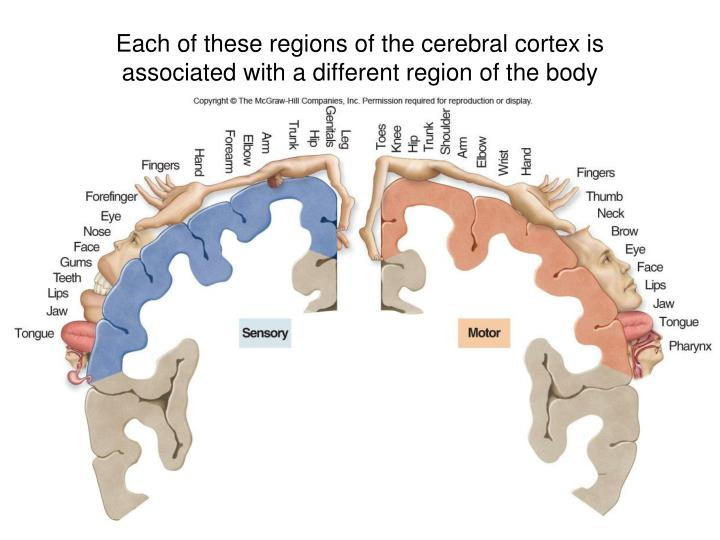 Each of these regions of the cerebral cortex is