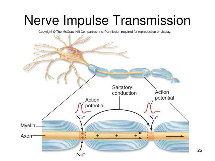 Nerve Impulse Transmission