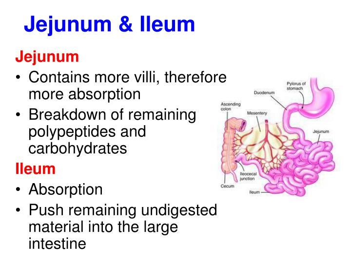 Jejunum & Ileum