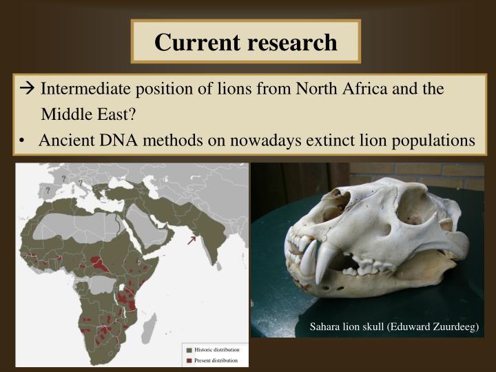 Sahara lion skull (Eduward Zuurdeeg)