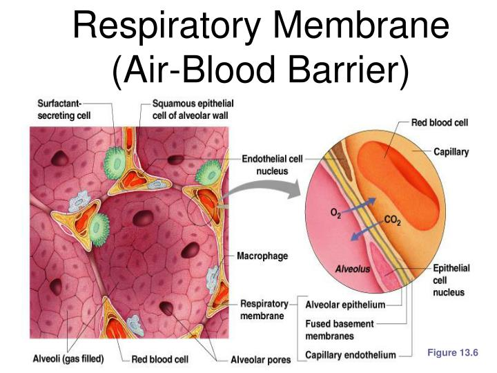 Respiratory Membrane (Air-Blood Barrier)