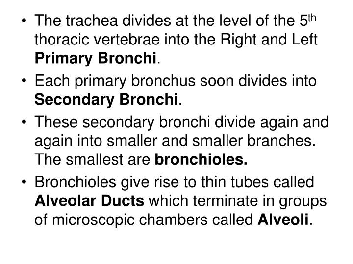 The trachea divides at the level of the 5