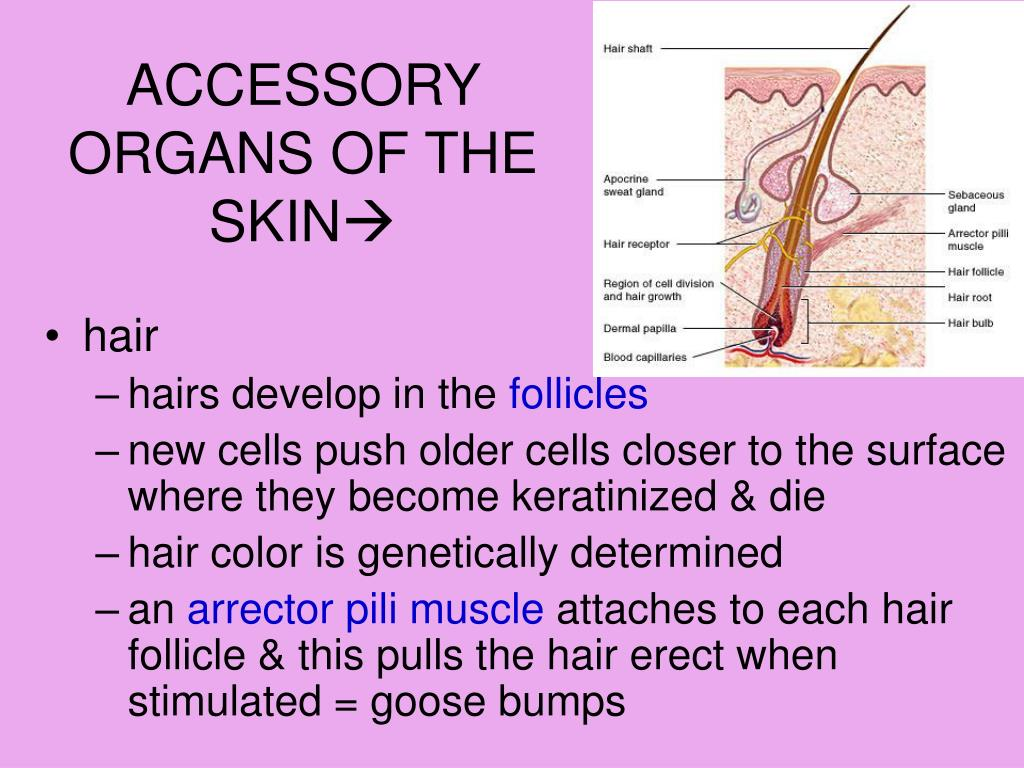 PPT - CP PHYSIOLOGY: SKIN & THE INTEGUMENTARY SYSTEM ...