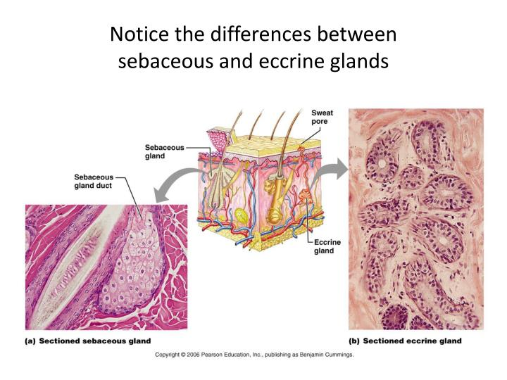 Ppt Integumentary System Powerpoint Presentation Id1714722