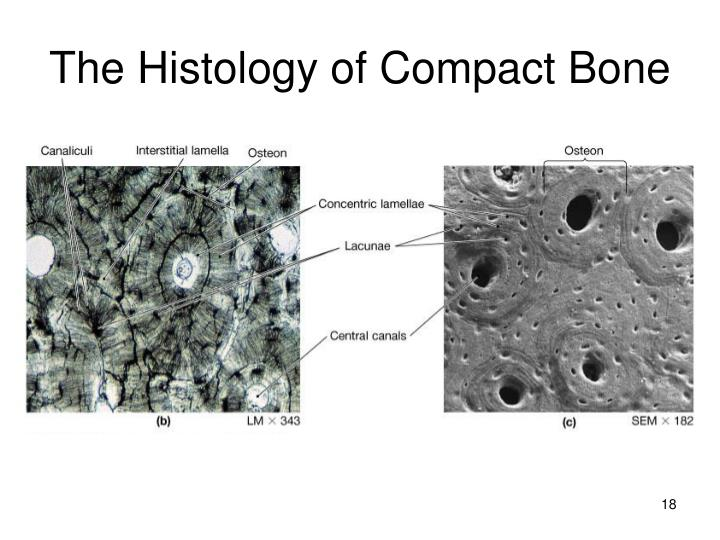 The Histology of Compact Bone